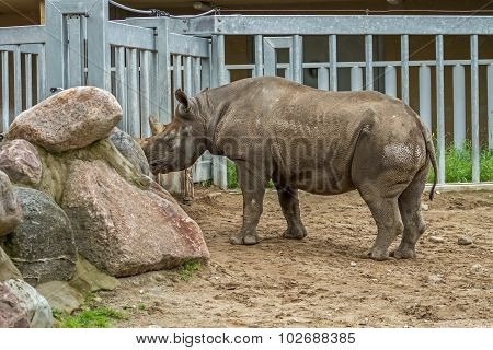 Rhino  Lives In The Zoo