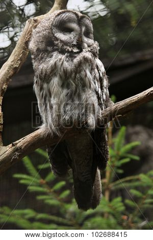 Great grey owl (Strix nebulosa). Wild life animal.