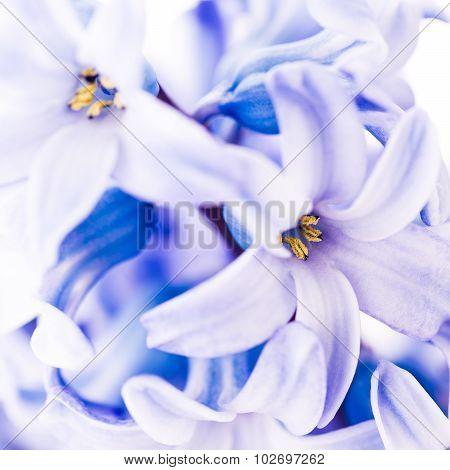 Close Up Of Blue Hyacinth.