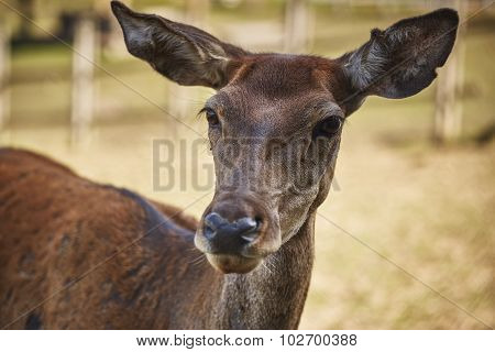 Curious Deer Doe Portrait