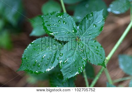 Blackberry leaf covered with water drops, shallow focus
