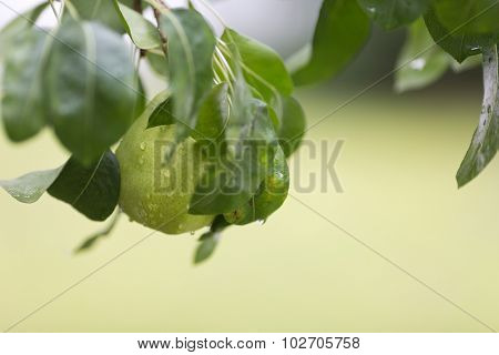 Ripe pear with rain drops hanging from the tree, shallow focus