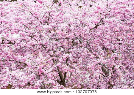 Beautiful pink cherry blossom, Sakura flowers Background