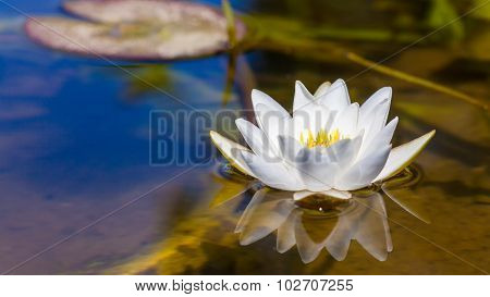 White Lily In The Pond