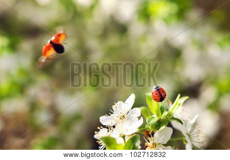 Ladybird takes off from a blossom tree.