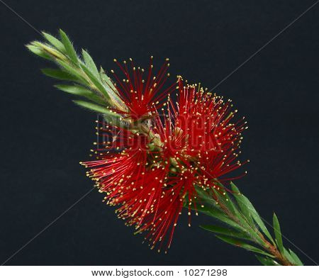 Red Bottlebrush black background