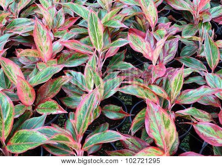 Aglaonema Plant (Chinese evergreen)