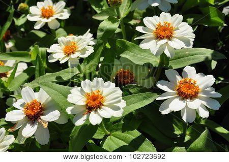 Narrowleaf Zinnia (zinnia Angustifolia)