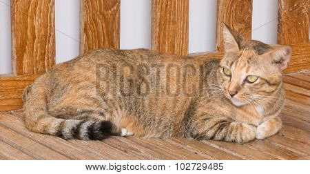 Brown Domestic Cat Resting On A Chair
