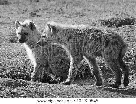 2 Hyenas in mono on the plains