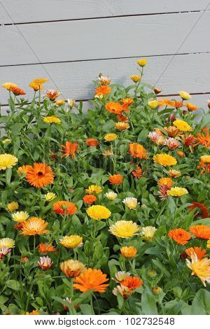 colored marigold garden