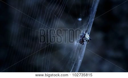 White spider on its web