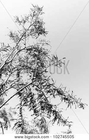 Monochrome photography of Indian Gooseberries fruits hanging from their branches in farmland