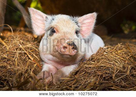 Baby piglet close up.