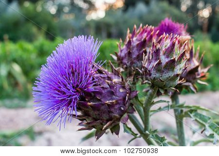 Cynara Cardunculus Flowers In An Orchard