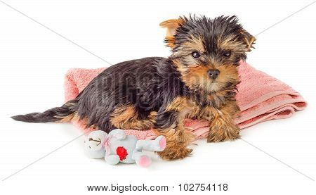 Puppy Resting On Pink Carpet With Toy Isolated