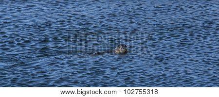 Seal In The Ocean