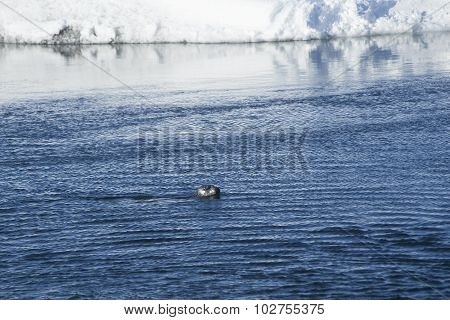 Seal Swims At Glacier Lagoon Jokulsarlon, Iceland