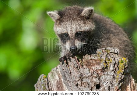 Young Raccoon (procyon Lotor) Crouches On Stump