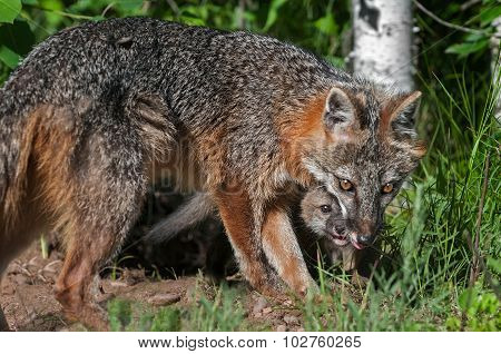 Grey Fox Vixen (urocyon Cinereoargenteus) And Kit