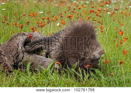 Porcupine (erethizon Dorsatum) Enters Grass