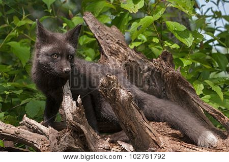 Young Silver Fox (vulpes Vulpes) Stands On Roots With One Ear Back