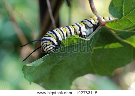 Monarch Butterfly Caterpillar On Milkweed Vine Leaf Eating