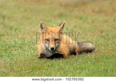 Red Fox Kit Posing in a Grass Meadow, PEI, Canada