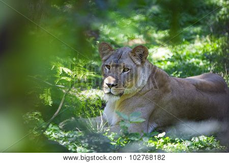 Lioness In The Jungle