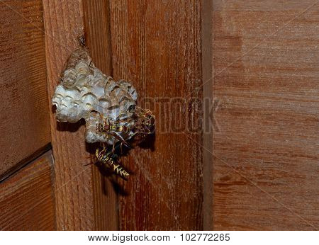Wasps laying egg larvae