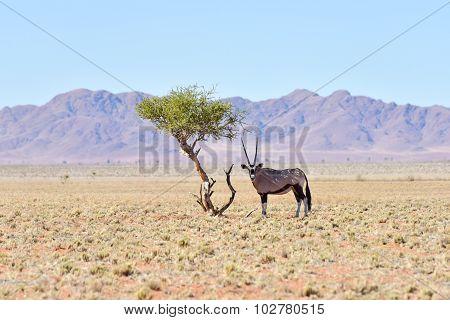Oryx And Desert Landscape - Namibrand, Namibia