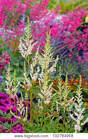 The white astilbe ( Astilbe)