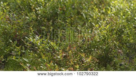 wild bilberries in forest slide movement