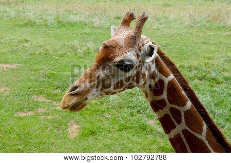Side Profile of Giraffe