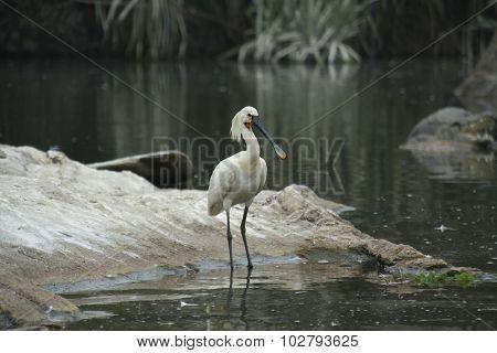 Eurasian Spoonbill At Ranganatittu Bird Sanctuary