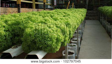 Green salad plantations with hydroponic culture in Malaysia.