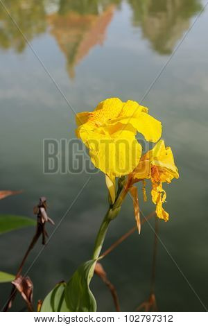 Indian Shot, Canna Flower On The Water In Thailand