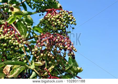 Elderberry Fruits