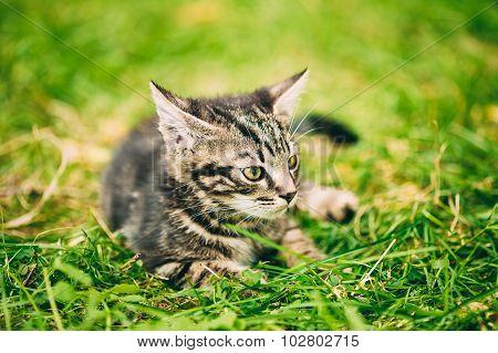 Small Cute Gray Cat Kitten Play Outdoor