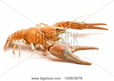 Lobster Crab Isolated