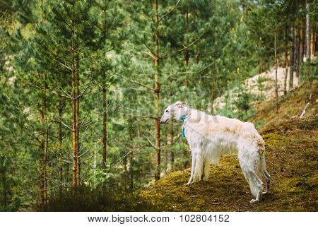 White Russian Dog, Borzoi, Hunting dog is at the edge of the for