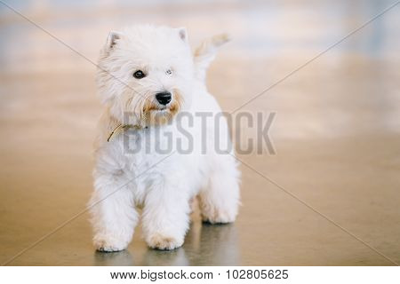 West Highland White Terrier, Westy, Dog