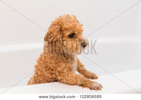 Poodle In A Bathtub