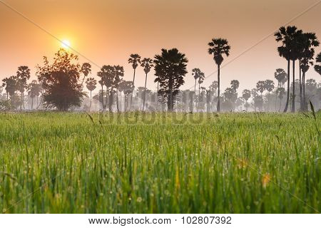 Rice field with palm tree background