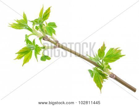 Maple twig with buds