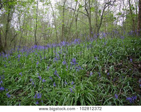 Bluebells in wood