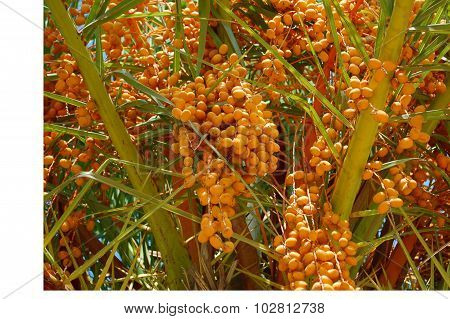 Date palm tree with unripned fruit