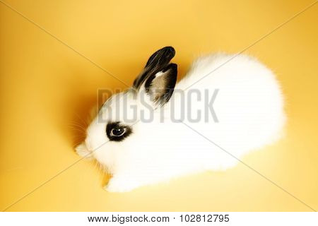 Cute Little Rabbit with Black Eyes and Long Ears