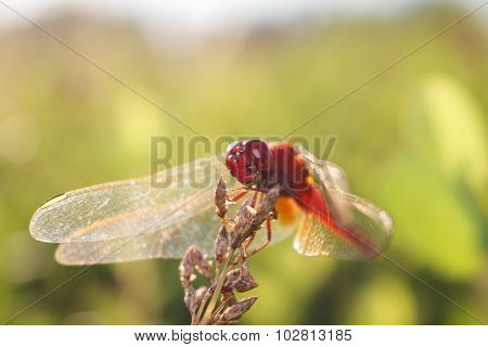Dragonfly On Blur Nature Background