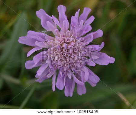 Single field scabious flower
